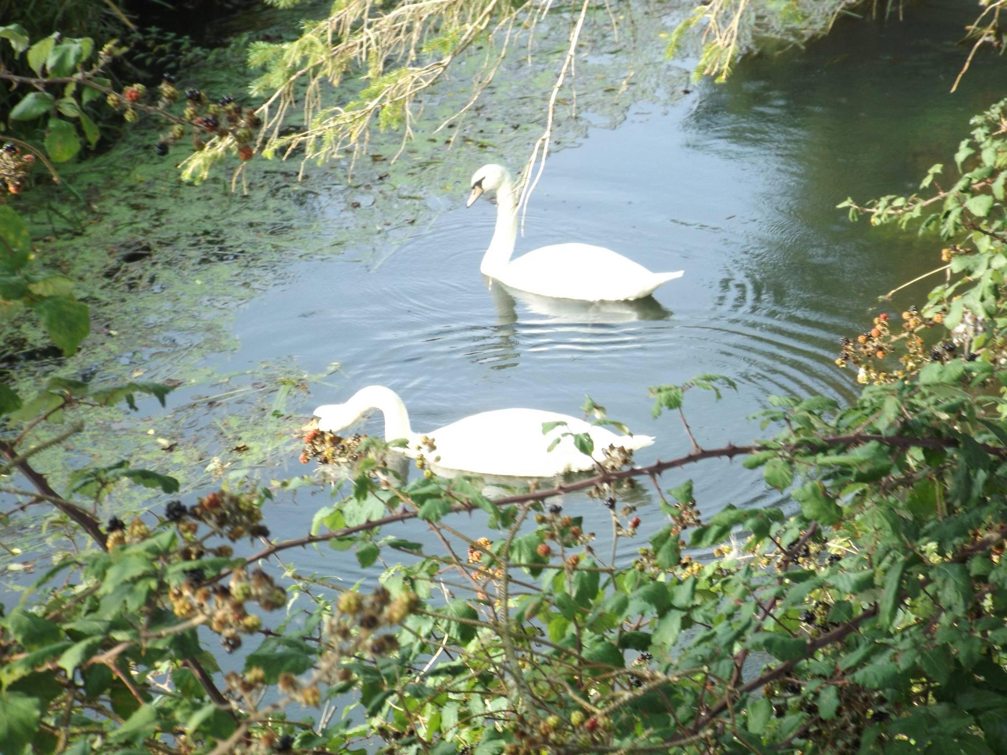 Inch looped walk swans